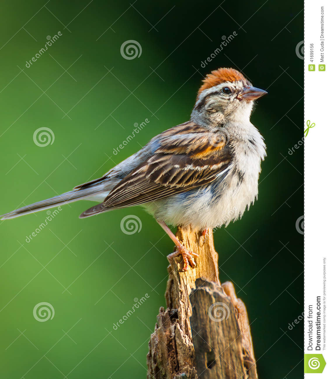 Chipped Sparrow