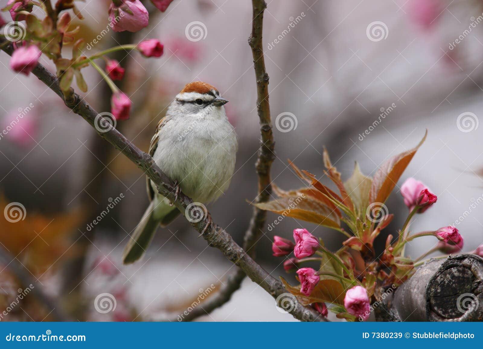 Chipping Sparrow (Spizella passerina passerina)