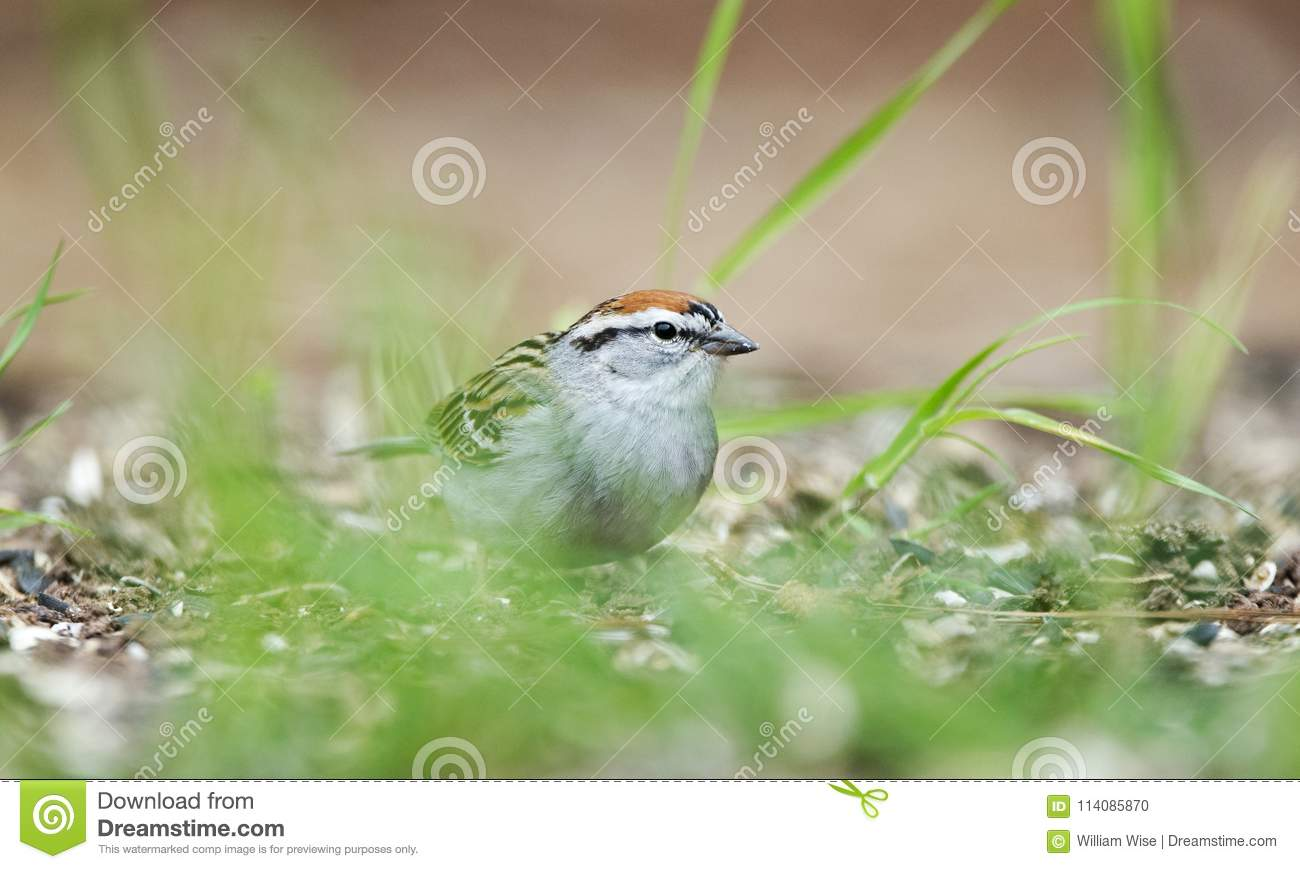 Chipping Sparrow bird eating seeds in grass, Athens GA, USA