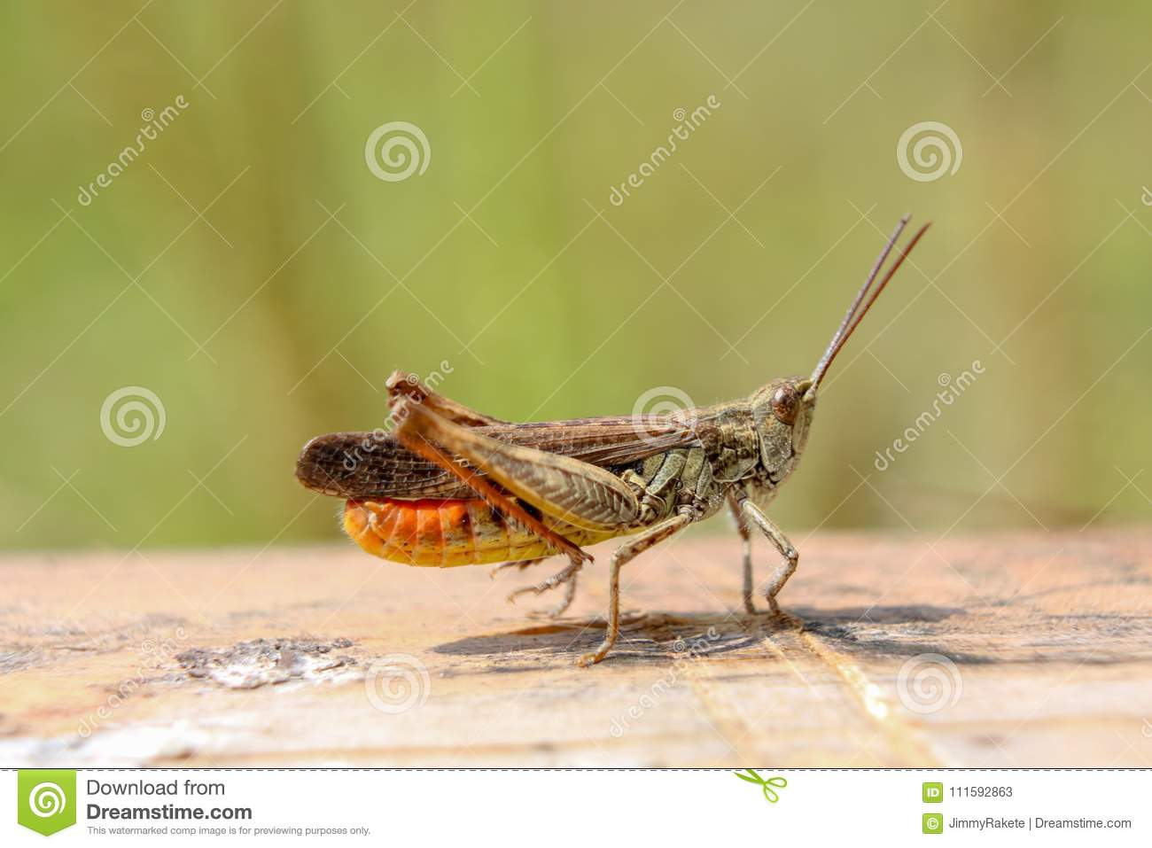 chirping orange and brown grasshopper stock image image of nature