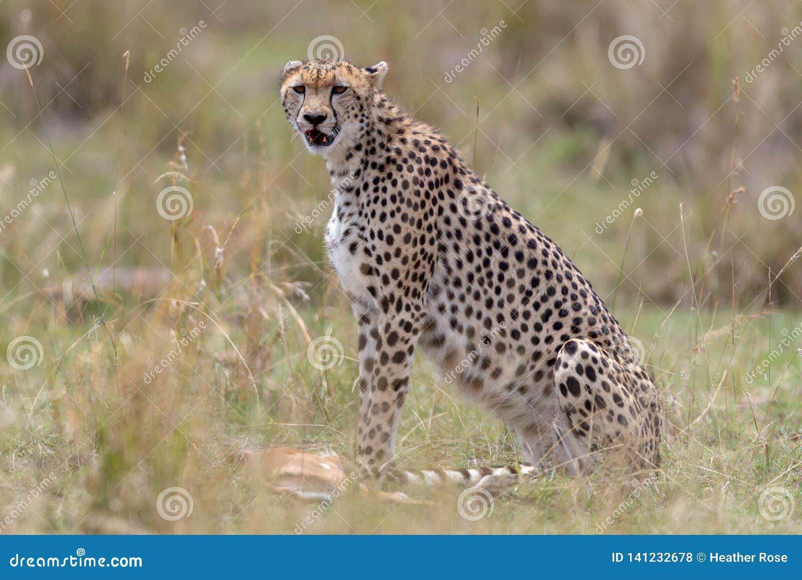 Chita com matança fresca em Masai Mara, Kenya, África