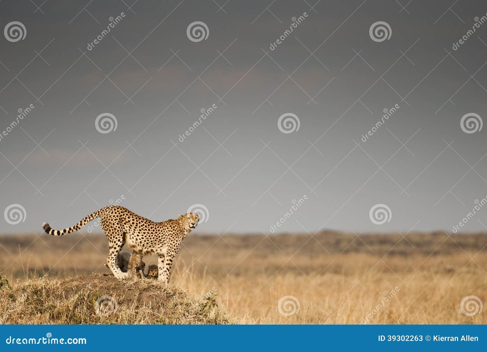 Chita no Masai Mara, Kenya