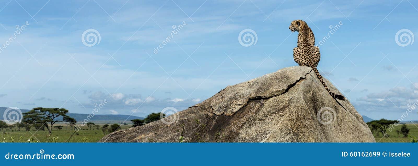 Chita que senta-se em uma rocha e que olha afastado, Serengeti