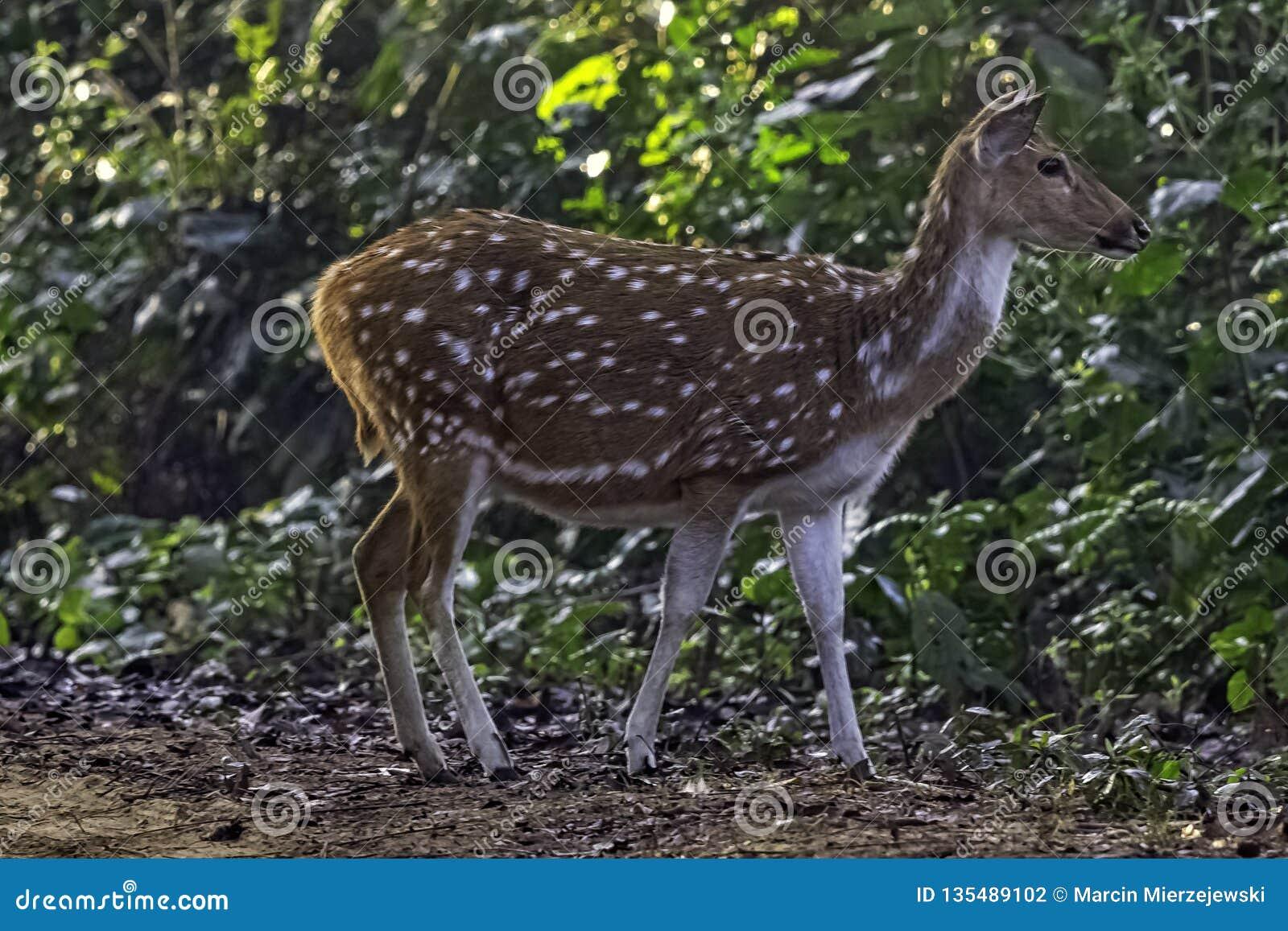 Chital ou cheetal, igualmente sabido como os cervos manchados ou os cervos da linha central fêmeas em Jim Corbett National Park,
