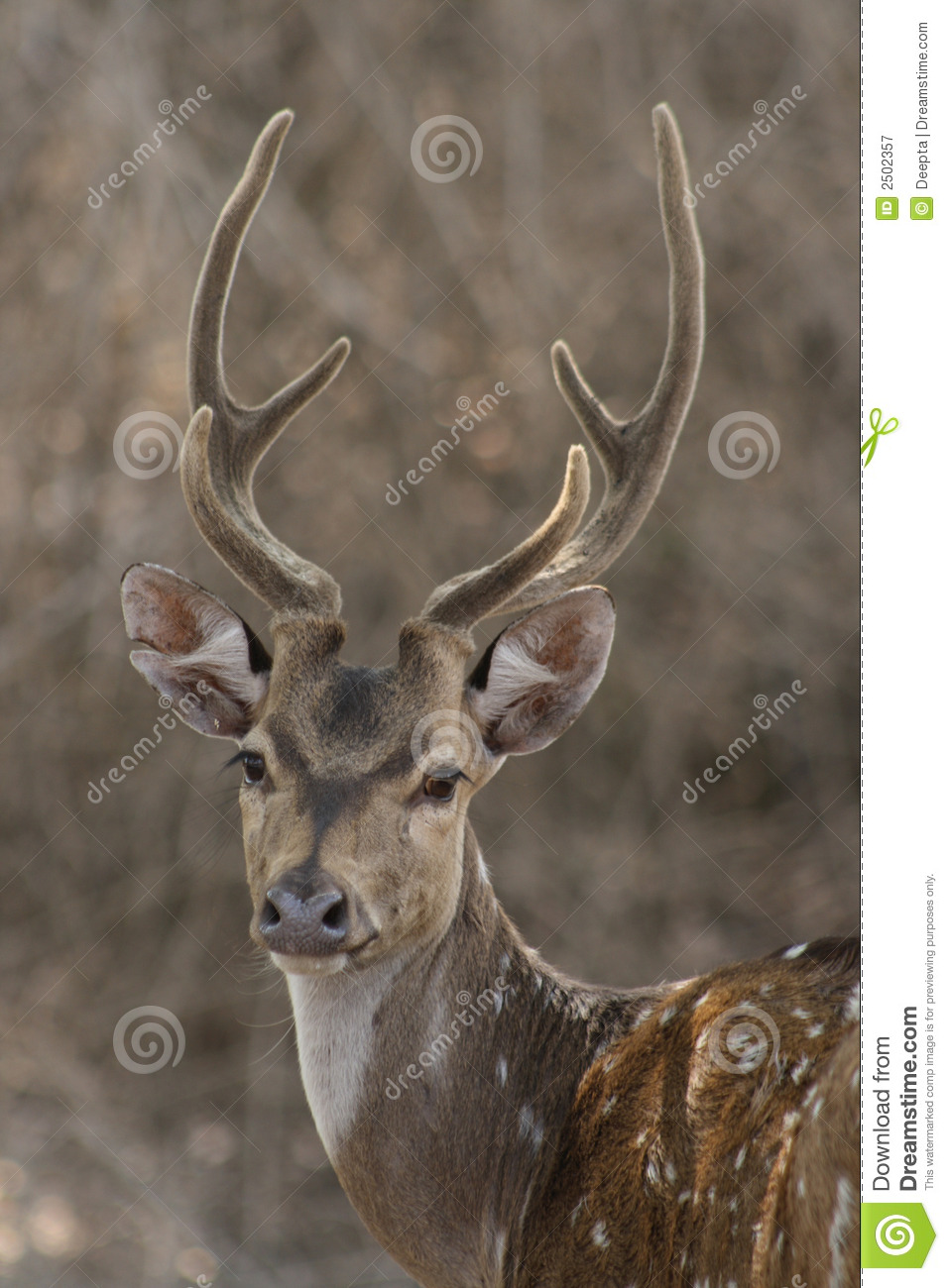 Chital Stag 2