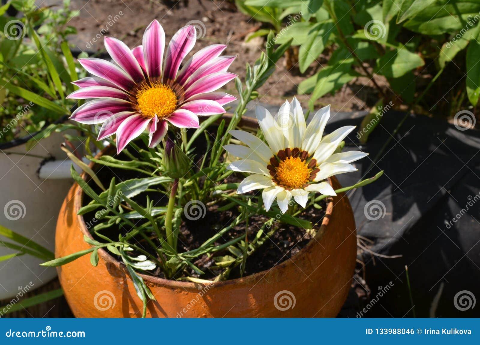 Vasi Da Giardino Colorati chiuda su dei fiori colorati multi in un vaso in un giardino