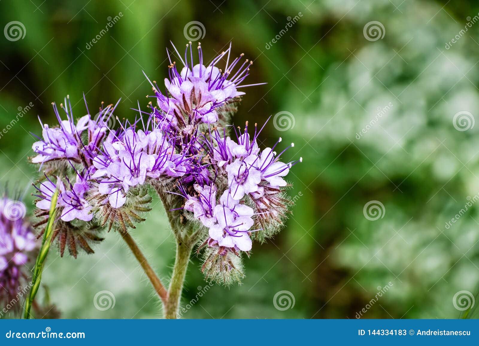 Chiuda su dei fiori selvaggi di cryptantha di Lacy Phacelia Phacelia, l area di San Francisco Bay del sud, San José, la Californi