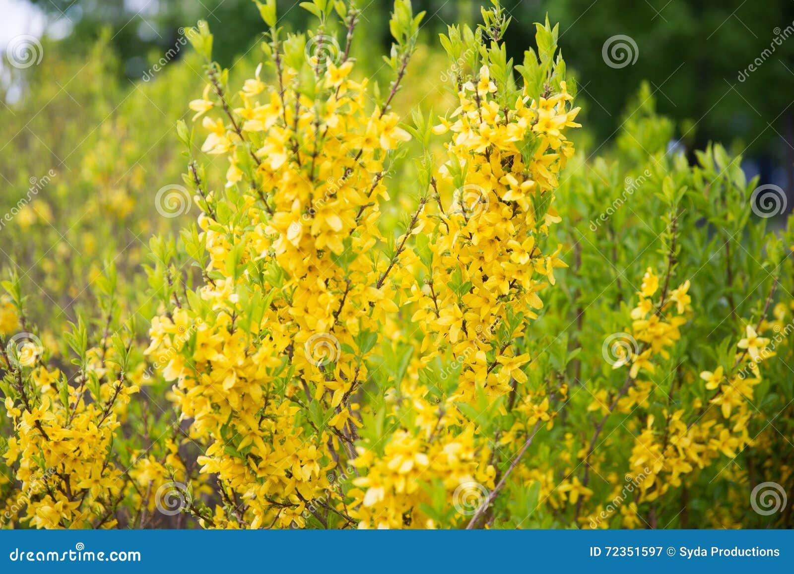 Arbusto A Fiori Gialli chiuda su del cespuglio di forsythia con i fiori gialli