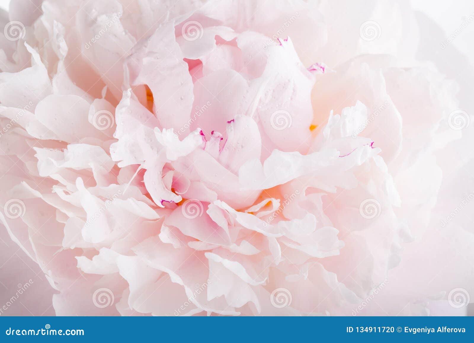 Chiuda su del fiore rosa della peonia