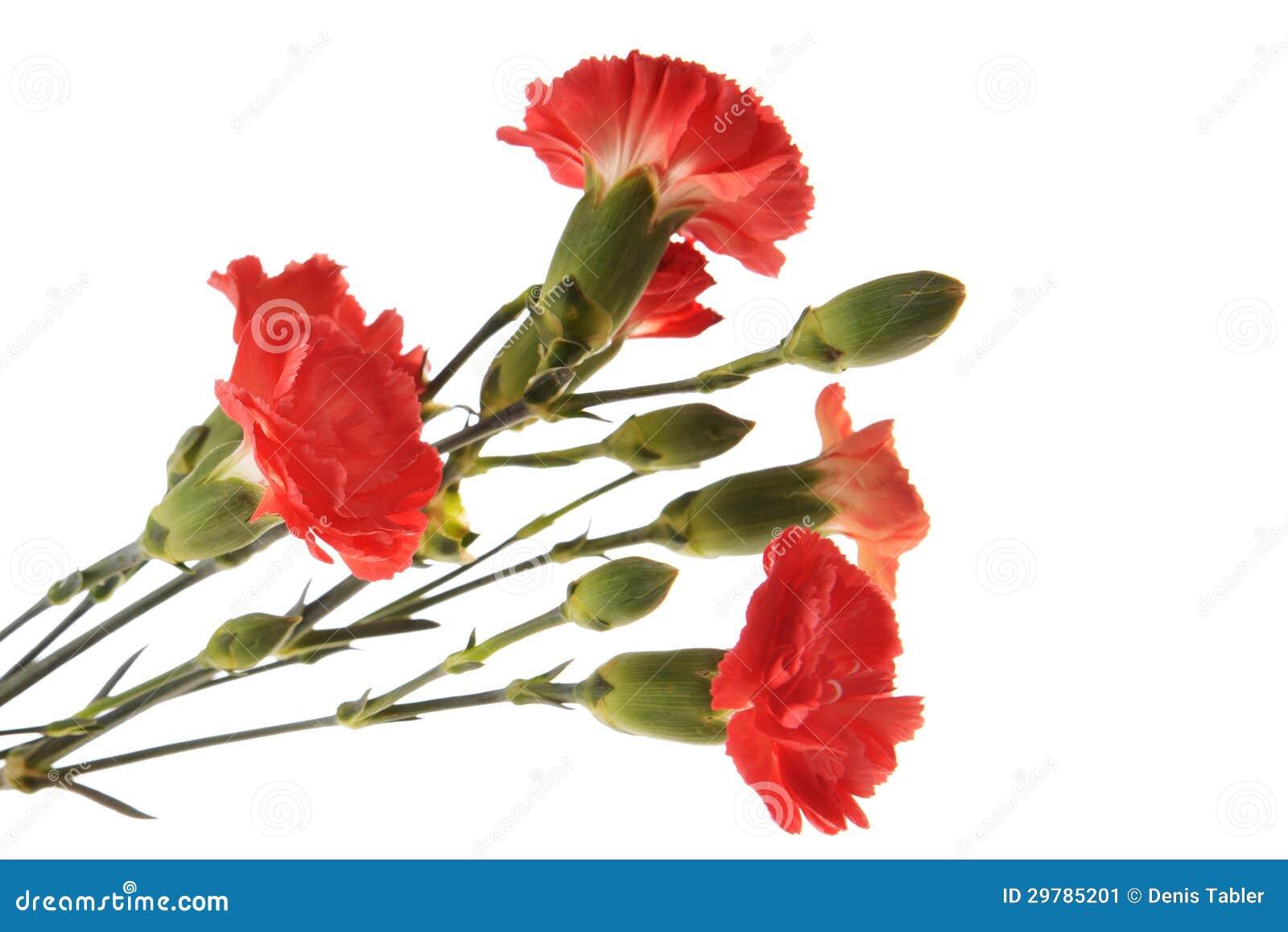 Garofano rosso immagine stock immagine 29785201 for Disegni del mazzo del cortile