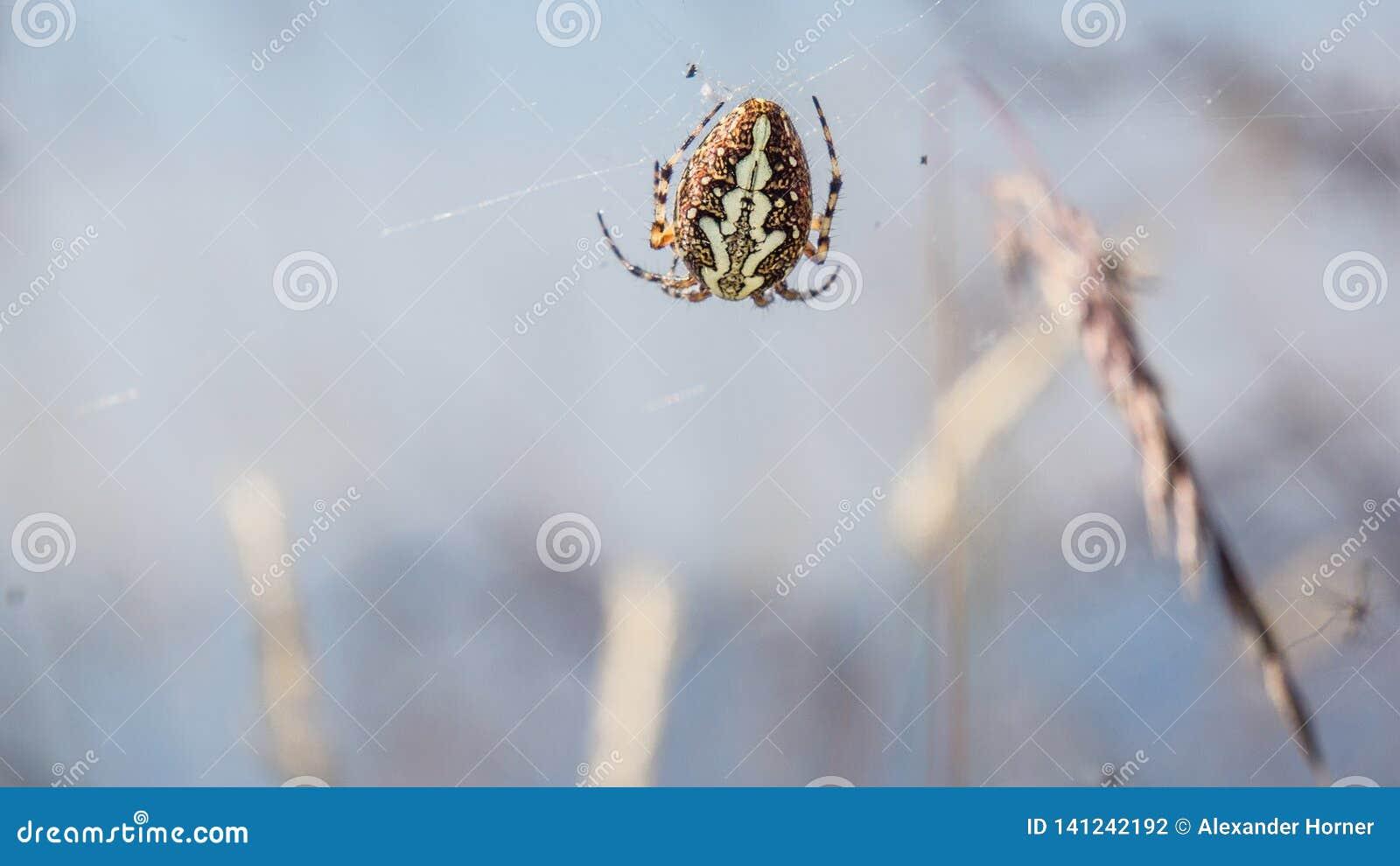 Chiuda su del ragno tossico della ragnatela
