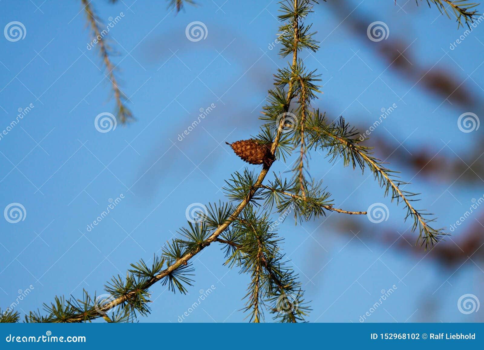 Chiuda su del ramo isolato dell albero di larice Larix decidua con gli aghi verdi e di singolo cono marrone contro cielo blu - Vi