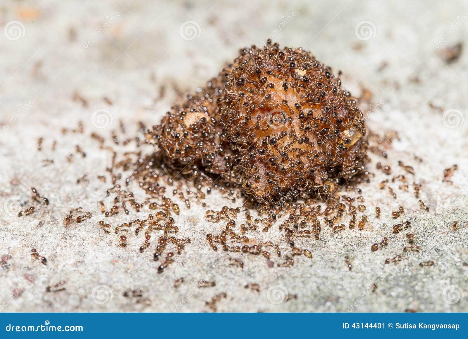 Chiuda su delle formiche di fuoco importate rosso