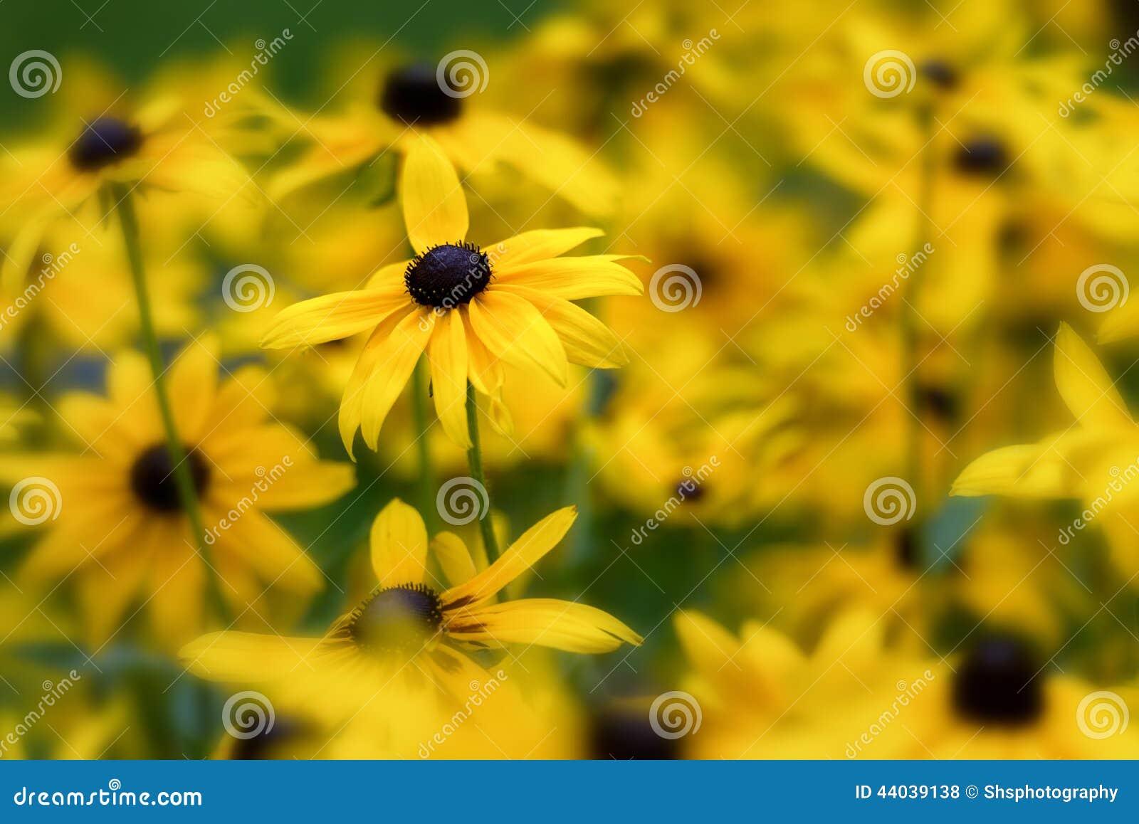 Chiuda su delle margherite gialle