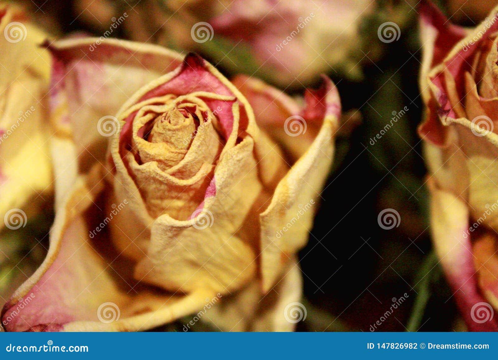Chiuda su delle rose asciutte su fondo scuro