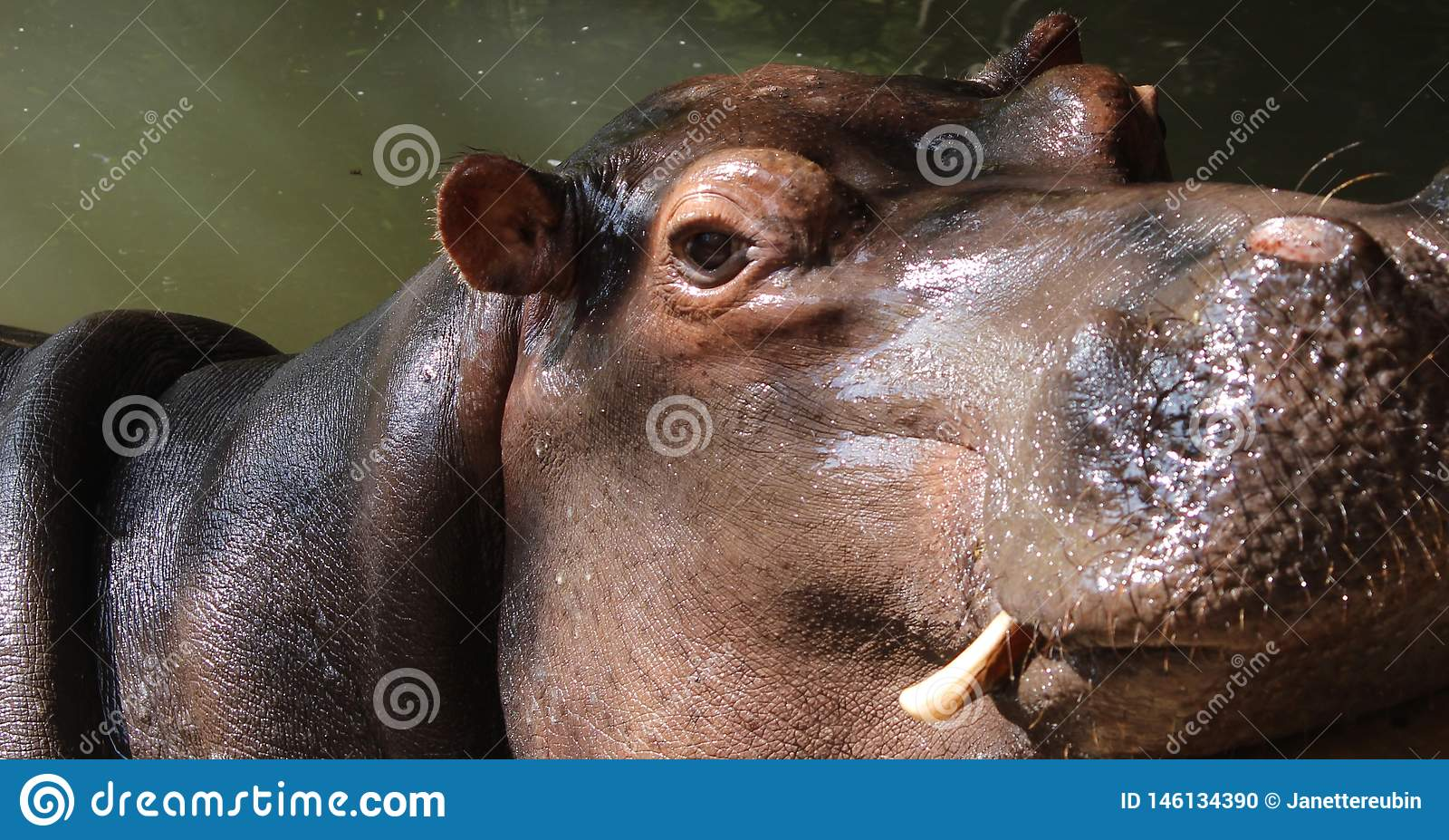 Chiuda su delle zanne di mostra cape dell ippopotamo