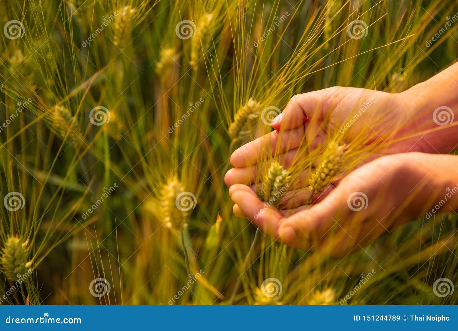 Chiuda su di due mani che tengono le punte dorate del grano sul campo