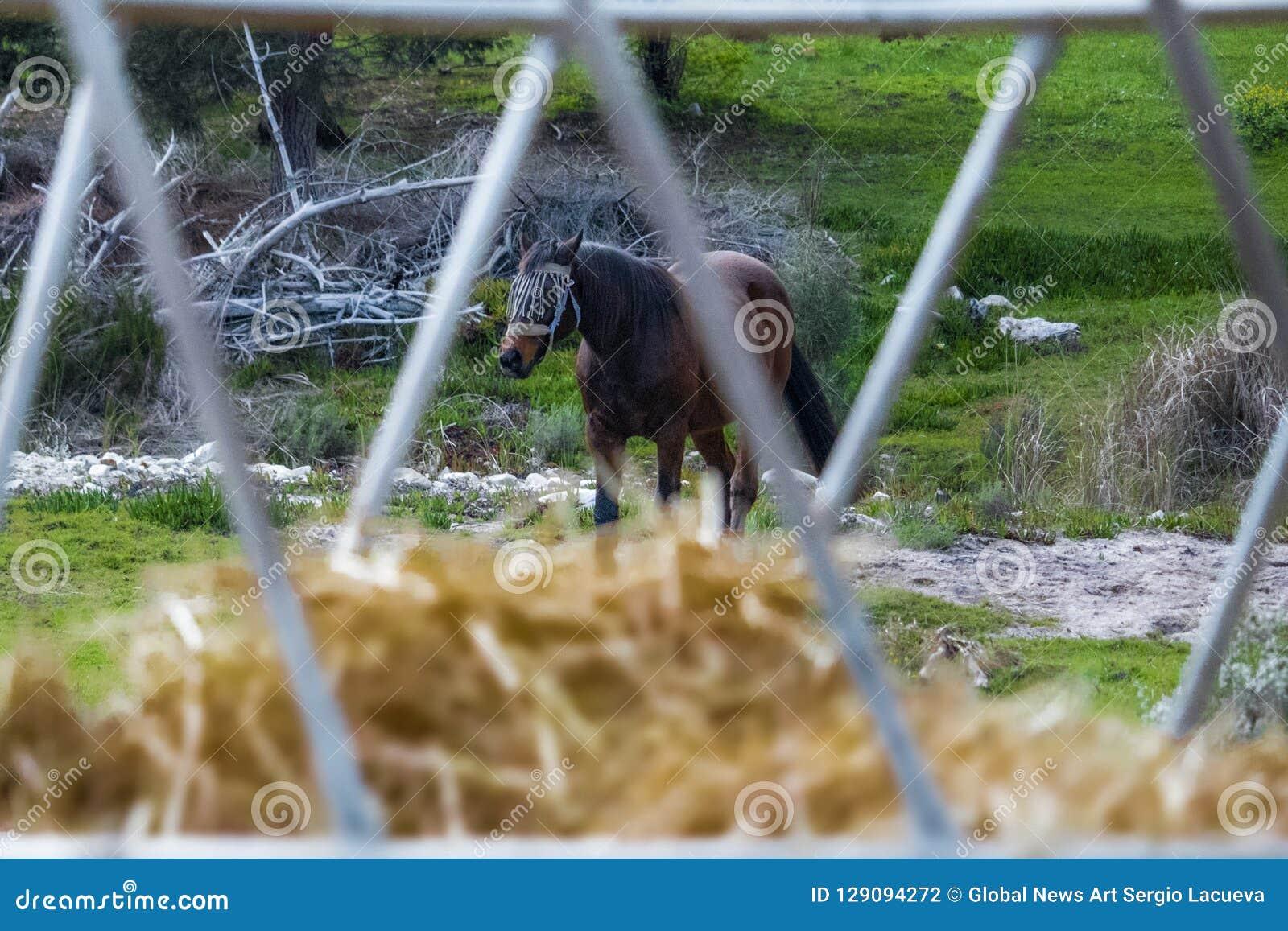 Chiuda su di fieno con un cavallo dello stallone nei precedenti