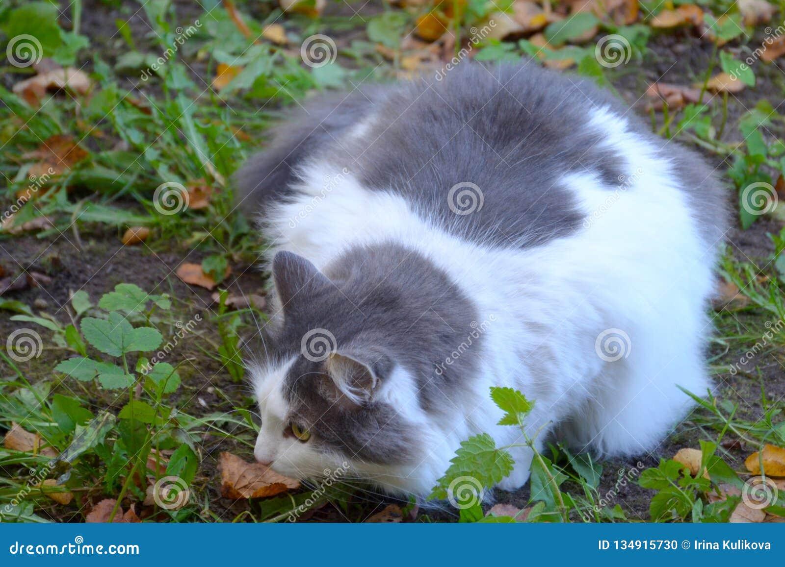 Chiuda Su Di Grigio Lanuginoso Ed Il Gatto Bianco Si è Accovacciato