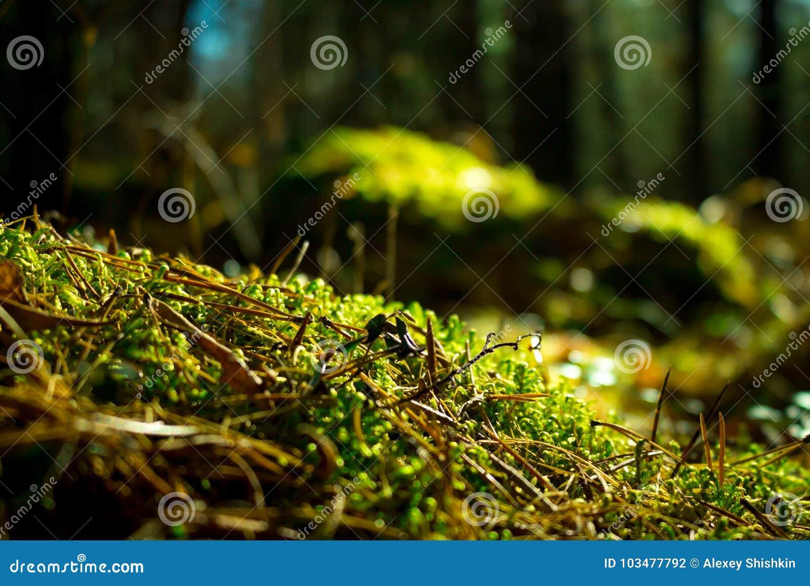 Chiuda in su di muschio verde Paesaggio della natura di ecologia Luce solare nella macro scura della foresta