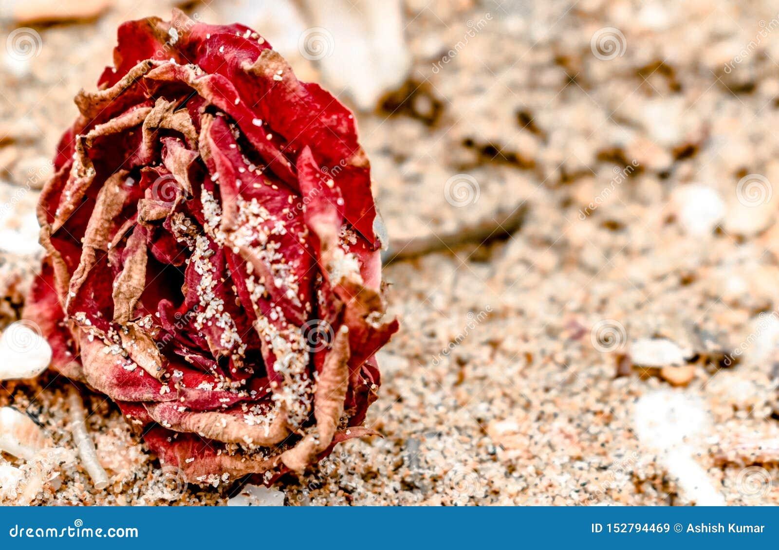 Chiuda su di Rosa morta, rosso a colori, tutto l inaridito e la menzogne sulla spiaggia, con i petali asciutti coperti in sabbia