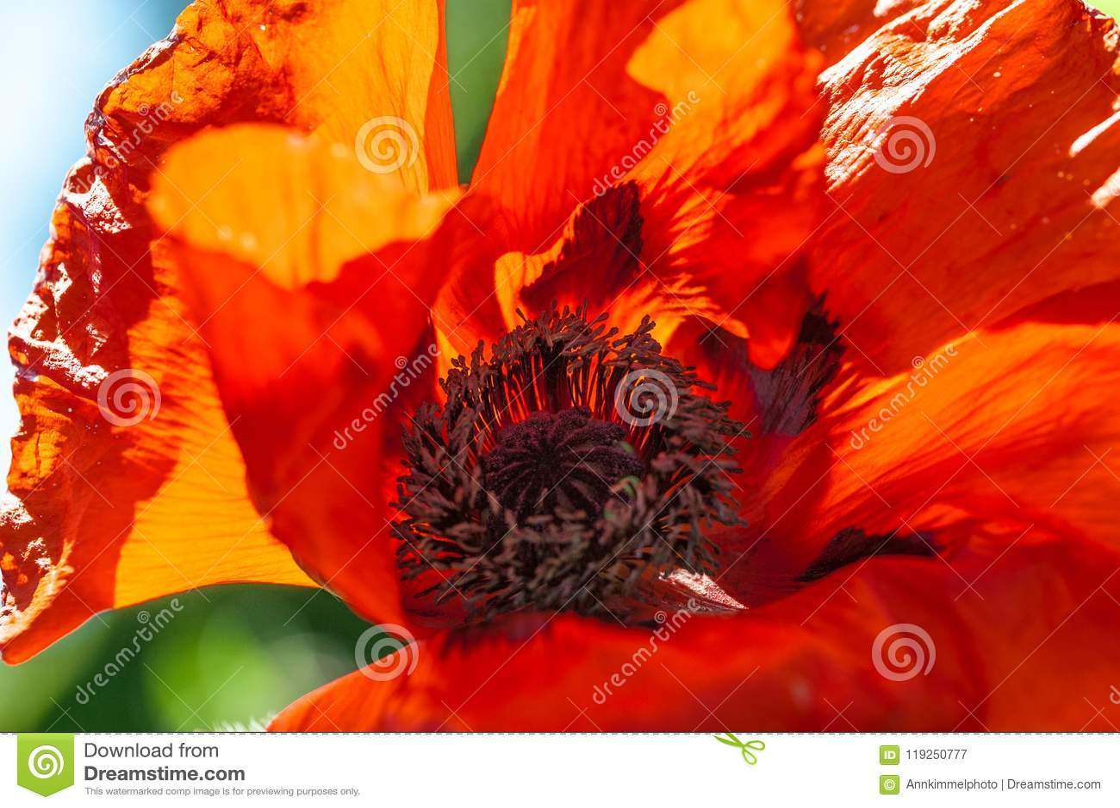 Chiuda su di un fiore rosso vivo rosso gigante del papavero del velluto