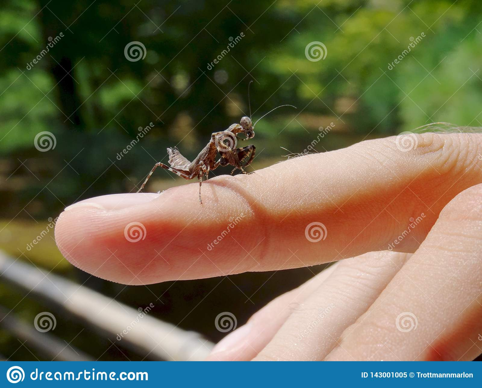 Chiuda su di un mantide pregante del bambino nero che cammina su un dito