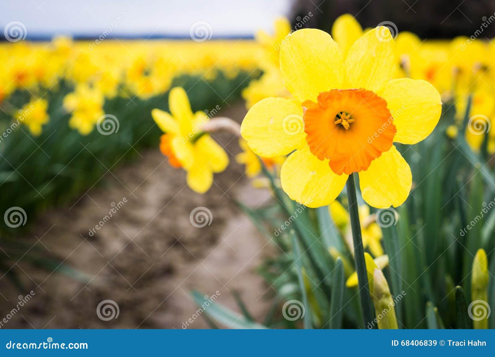 Chiuda su di un narciso giallo ed arancio in un campo del narciso con altri narcisi nelle file dietro