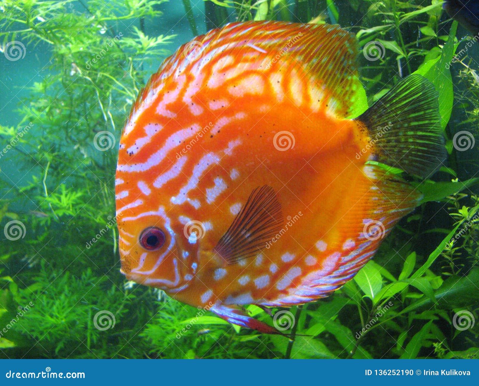 Chiuda su di un pesce di disco in un acquario Pesce arancio del giro piano con i punti bianchi sui precedenti delle alghe