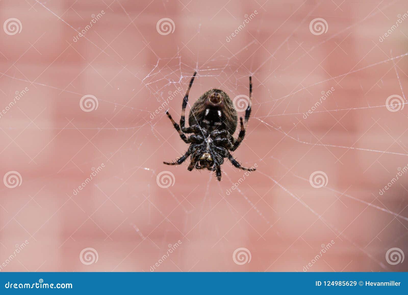 Chiuda su di un ragno nero in un web davanti ad un muro di mattoni