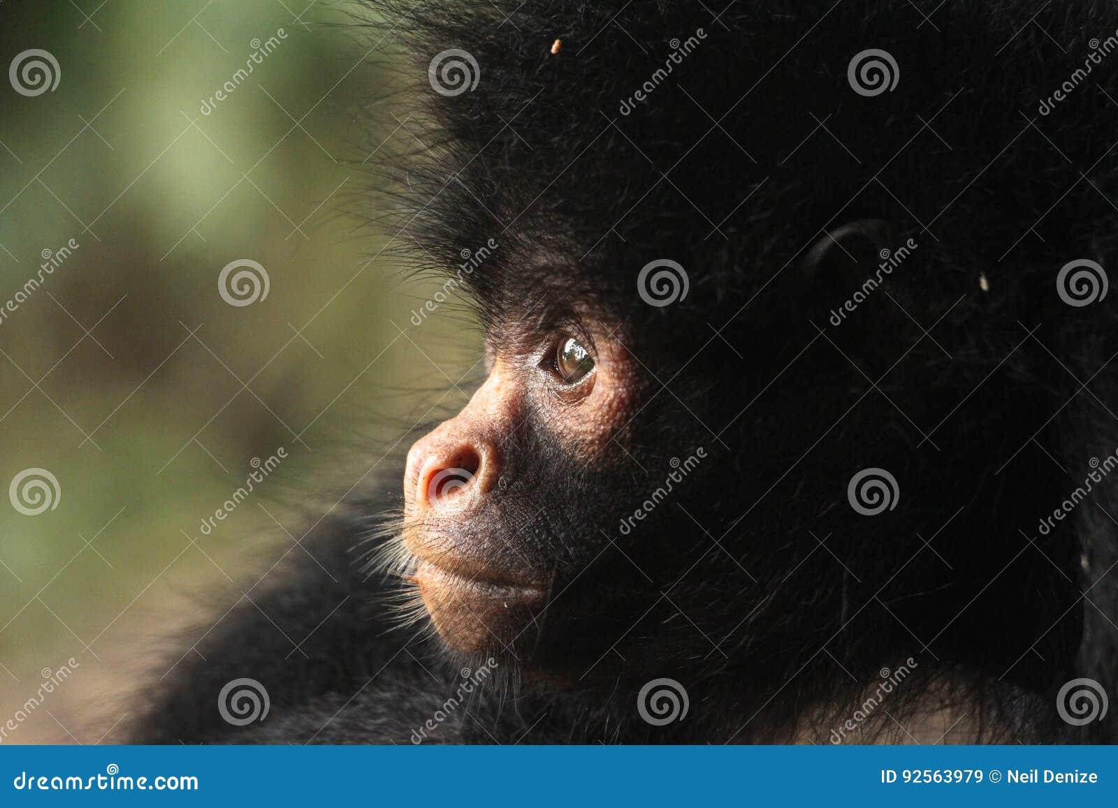 Chiuda su di una scimmia di ragno nera