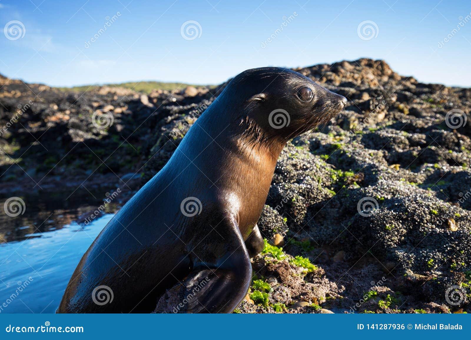 Chiuda su di uno zalophus californianus del leone marino della Nuova Zelanda che posa su una roccia nelle scogliere della spiaggi