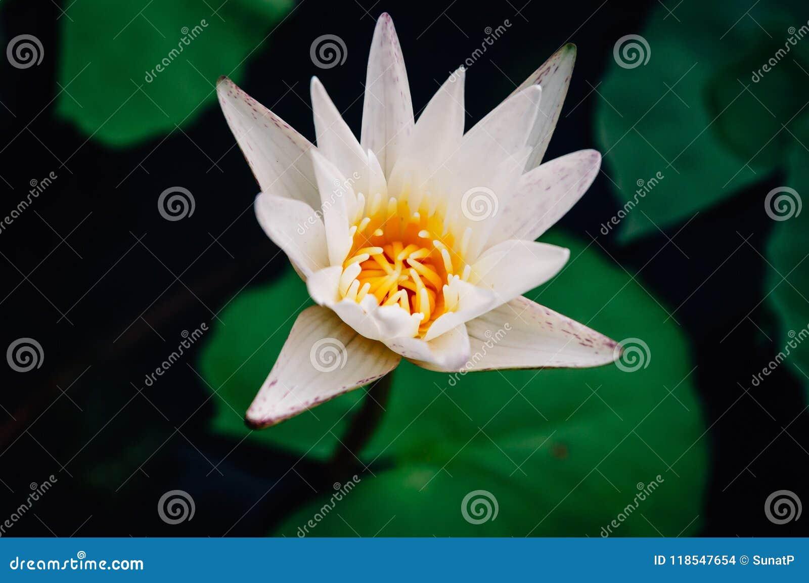 Chiuda su loto bianco e su polline giallo nella sera