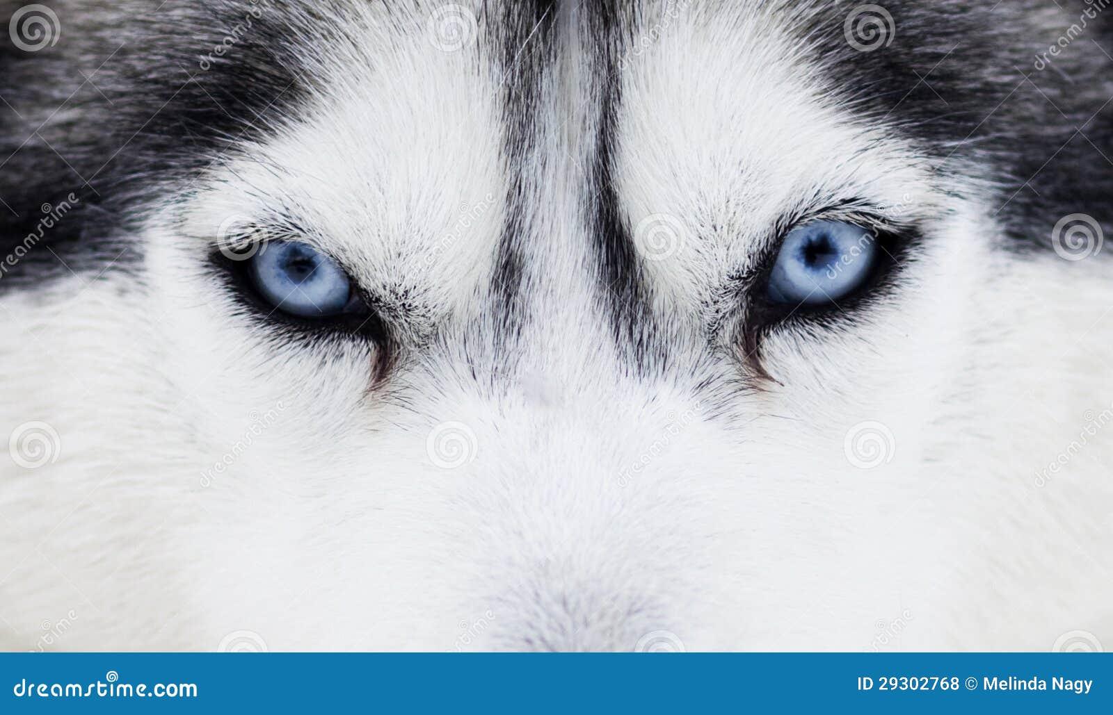 Chiuda su sugli occhi azzurri di un cane fotografia stock - Cane occhi azzurri ...