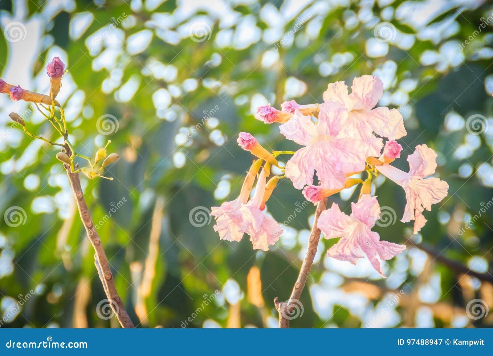 Chiuda sui fiori rosa della tromba (rosea di Tabebuia) sull albero con crusca