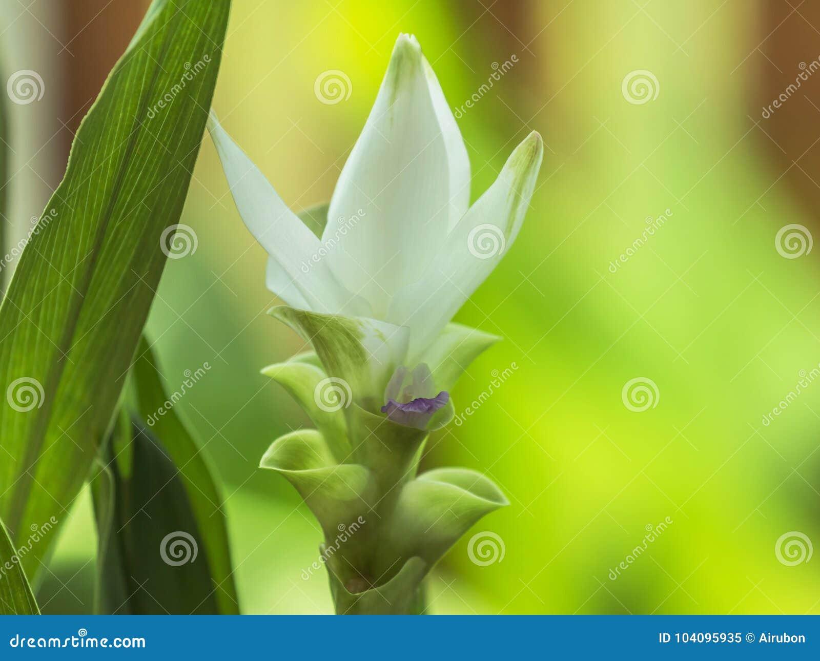 Lampada Fiore Tulipano : Chiuda sul alismatifolia bianco gagnep della curcuma del fiore del
