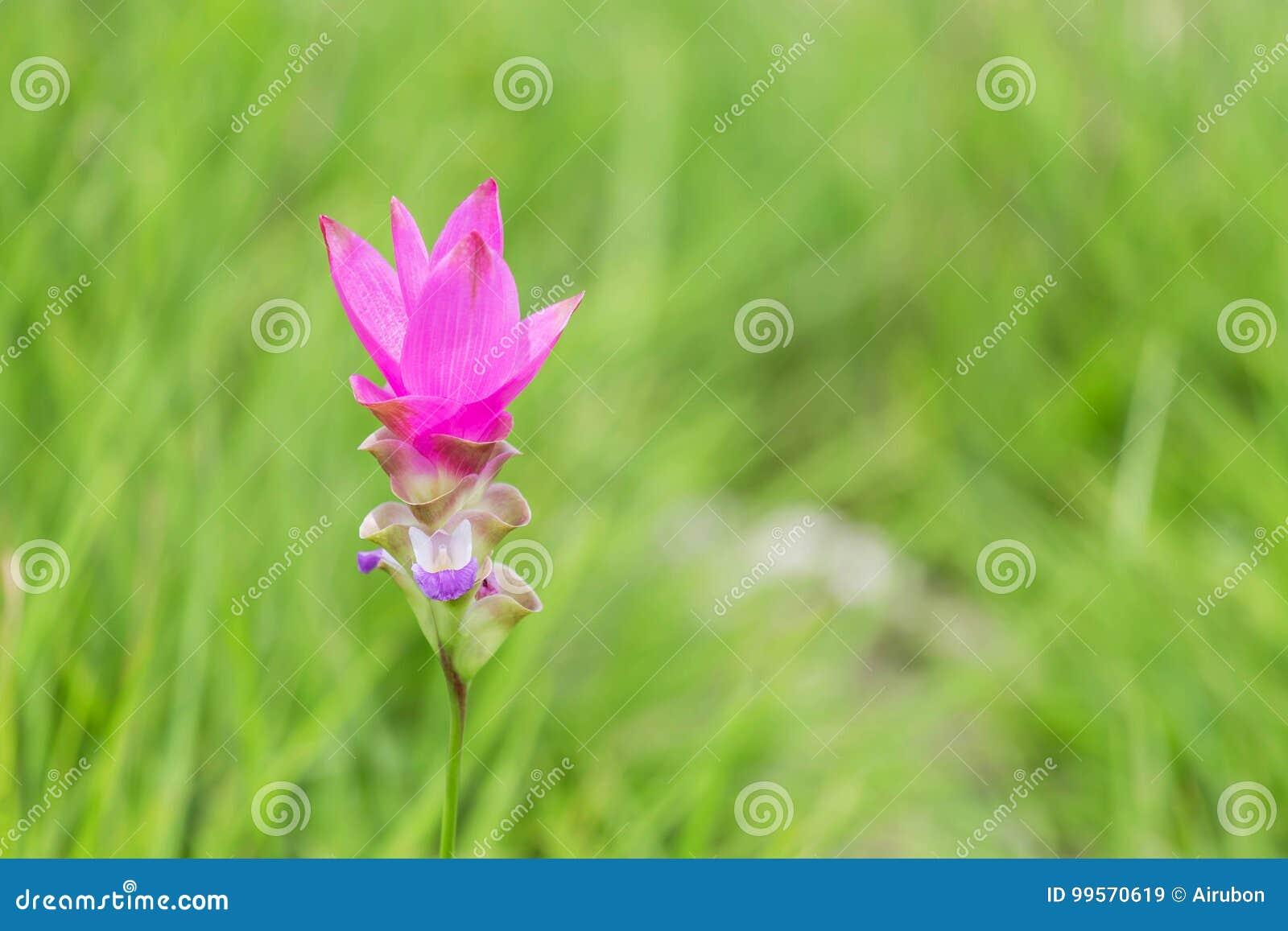 Lampada Fiore Tulipano : Chiuda sul alismatifolia rosa gagnep della curcuma del fiore del