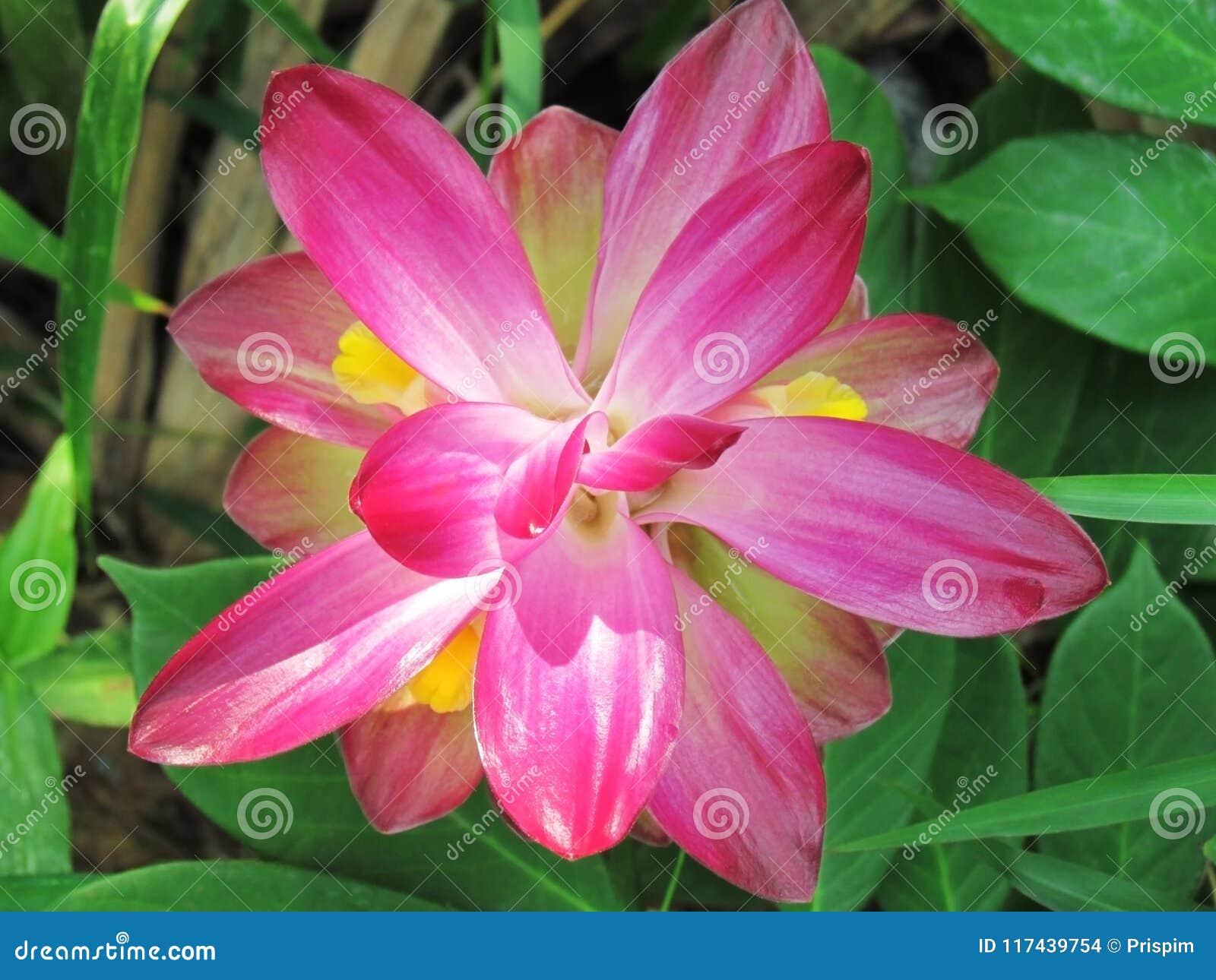 Chiuda sul fiore selvaggio della curcuma, il curcuma aromatica Salisb Il fiore selvaggio rosa della curcuma ha molti generi di ol
