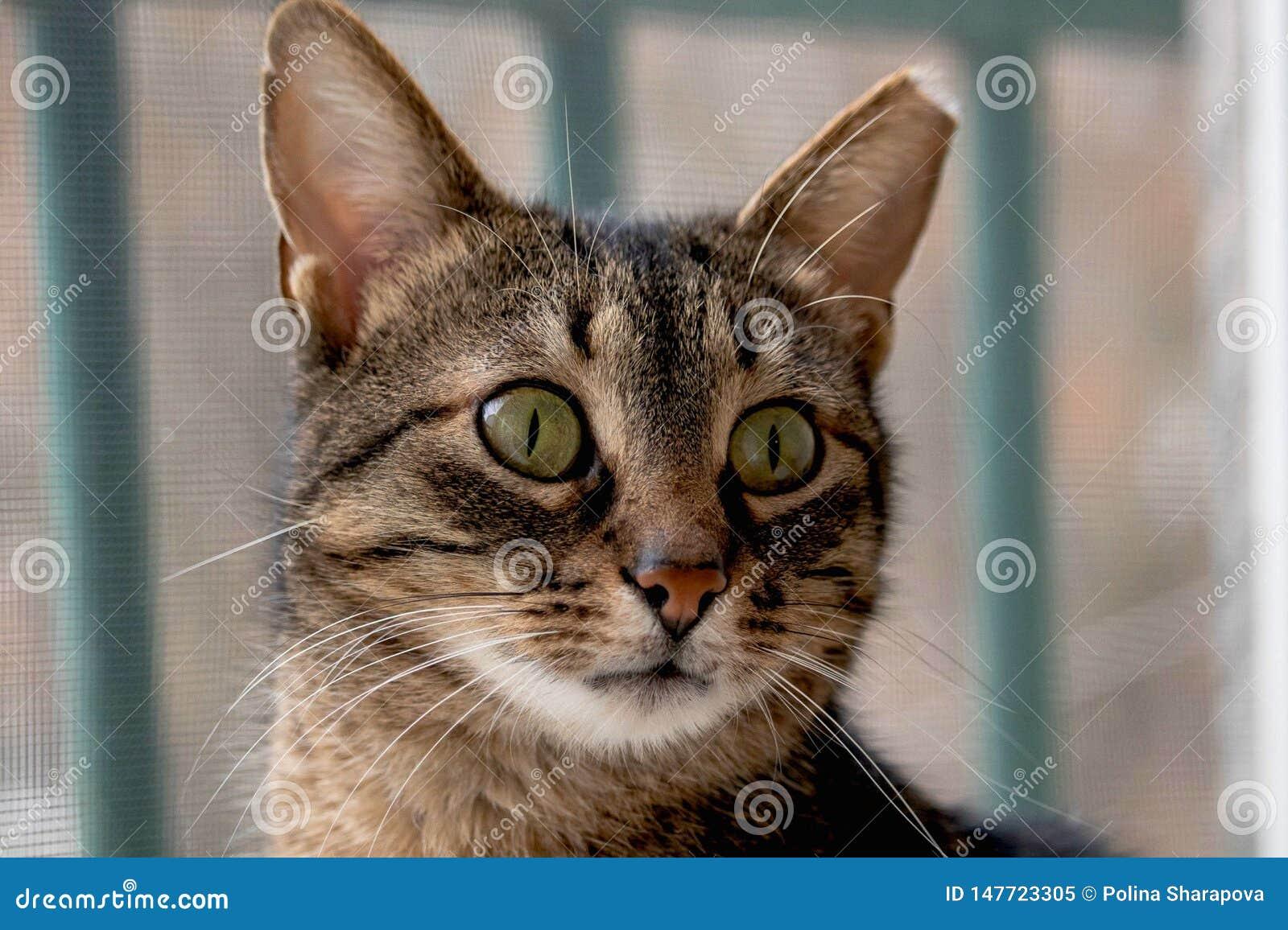 Chiuda sul gatto solo con i grandi occhi verdi, basette spesse