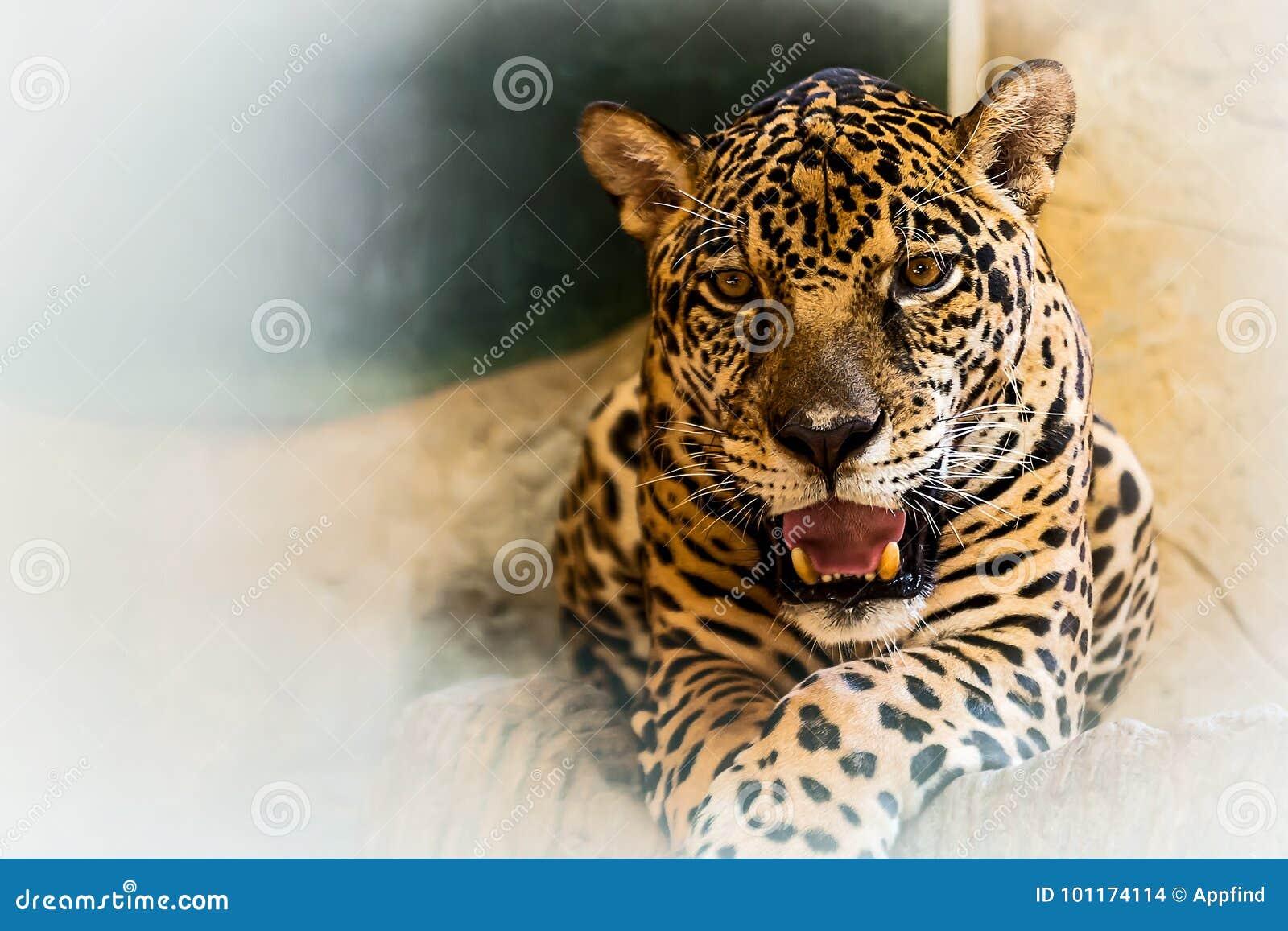 Chiuda sul giaguaro