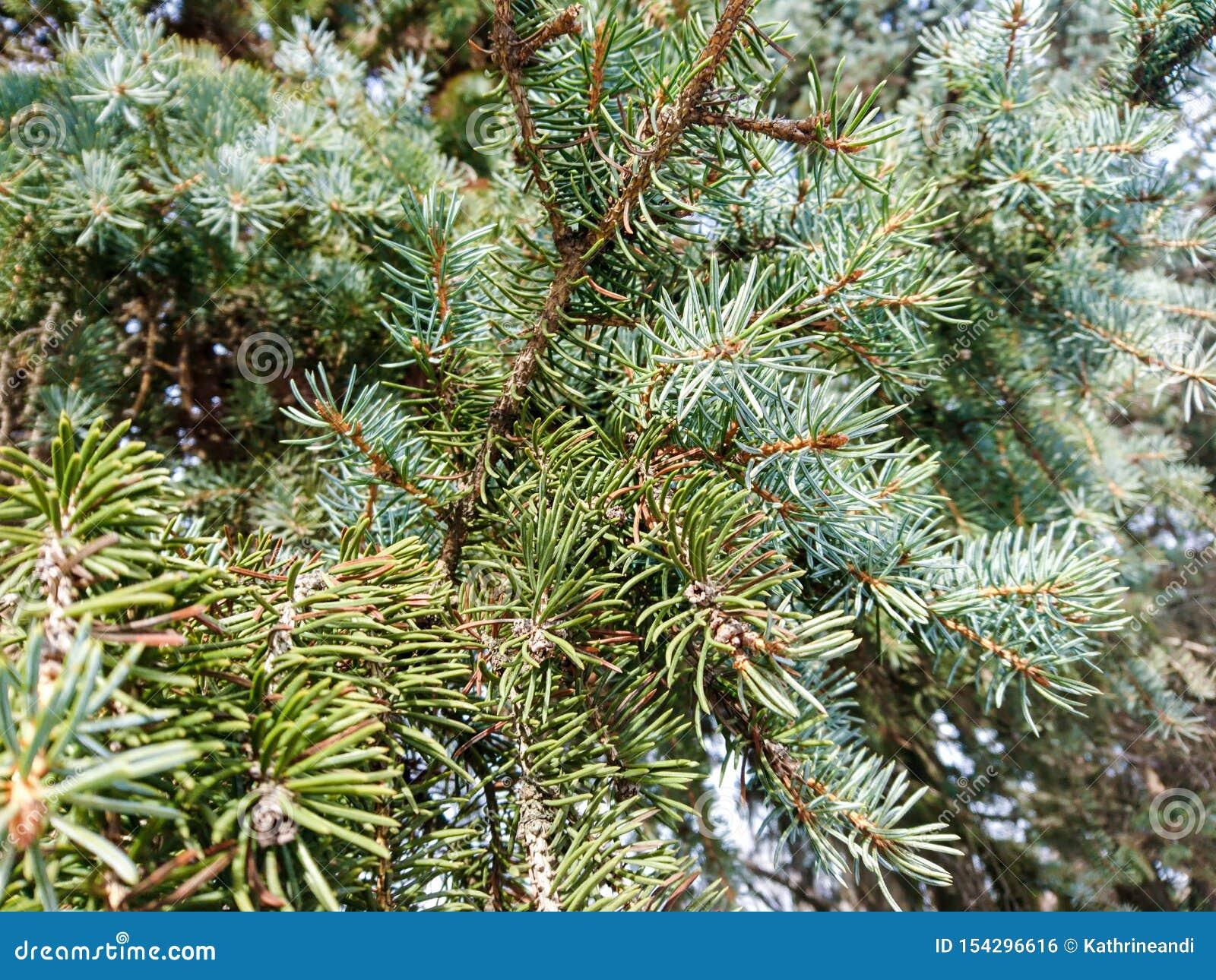 Chiuda sul pino d argento nella luce di primavera