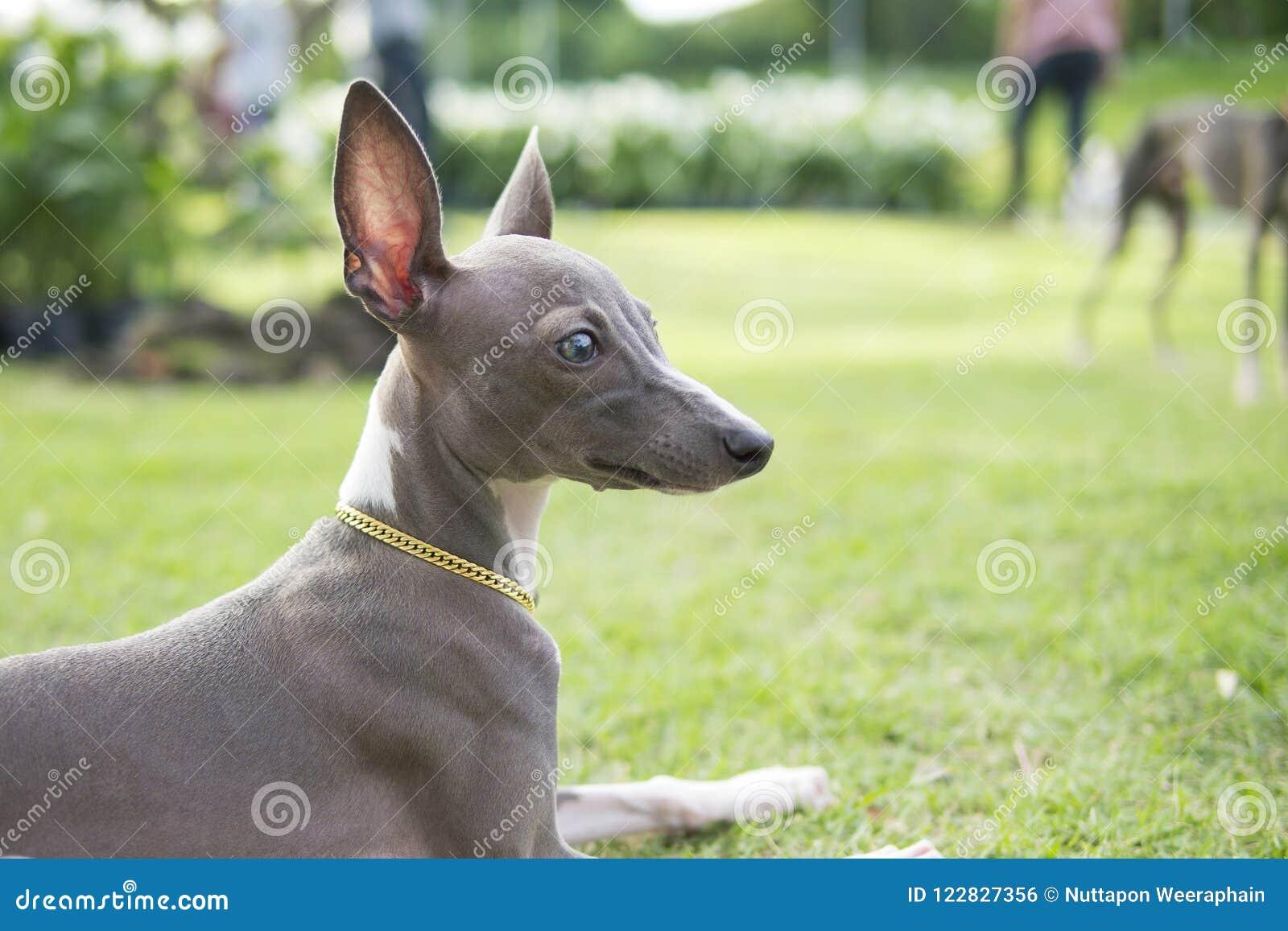 Chiuda sulla foto del cucciolo del levriero italiano con il sitti del collare dell oro