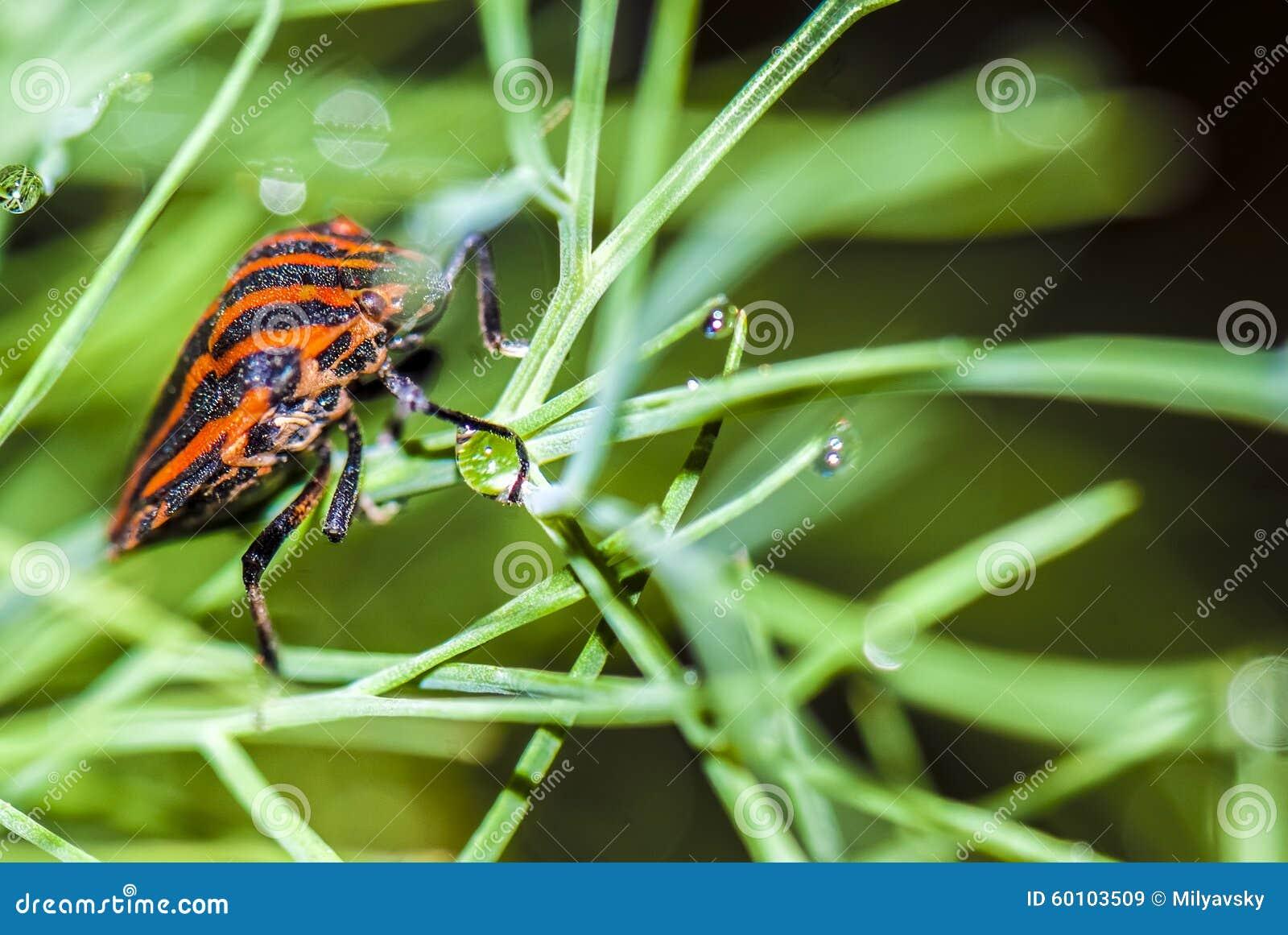 Chiuda sulla visualizzazione sull insetto di Minstreal