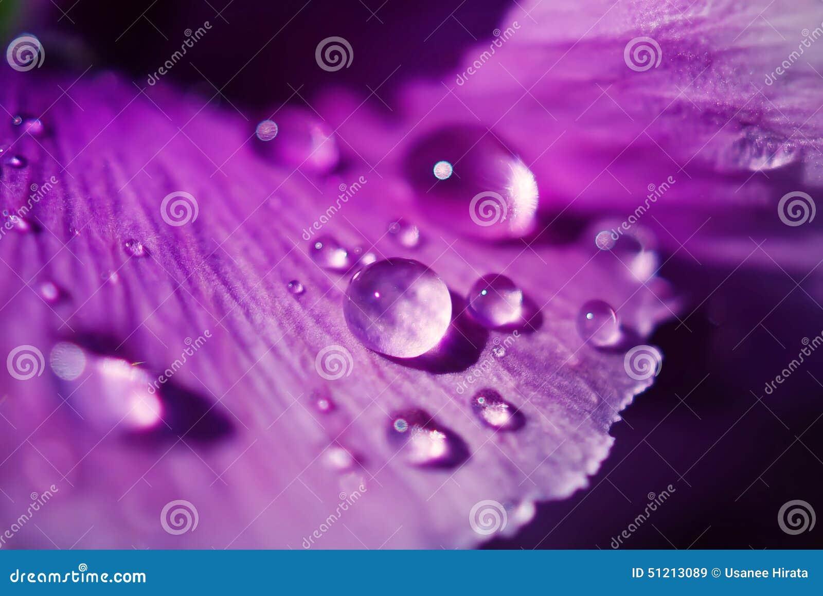 Chiuda sulle gocce di acqua sui fiori della viola in giardino giapponese