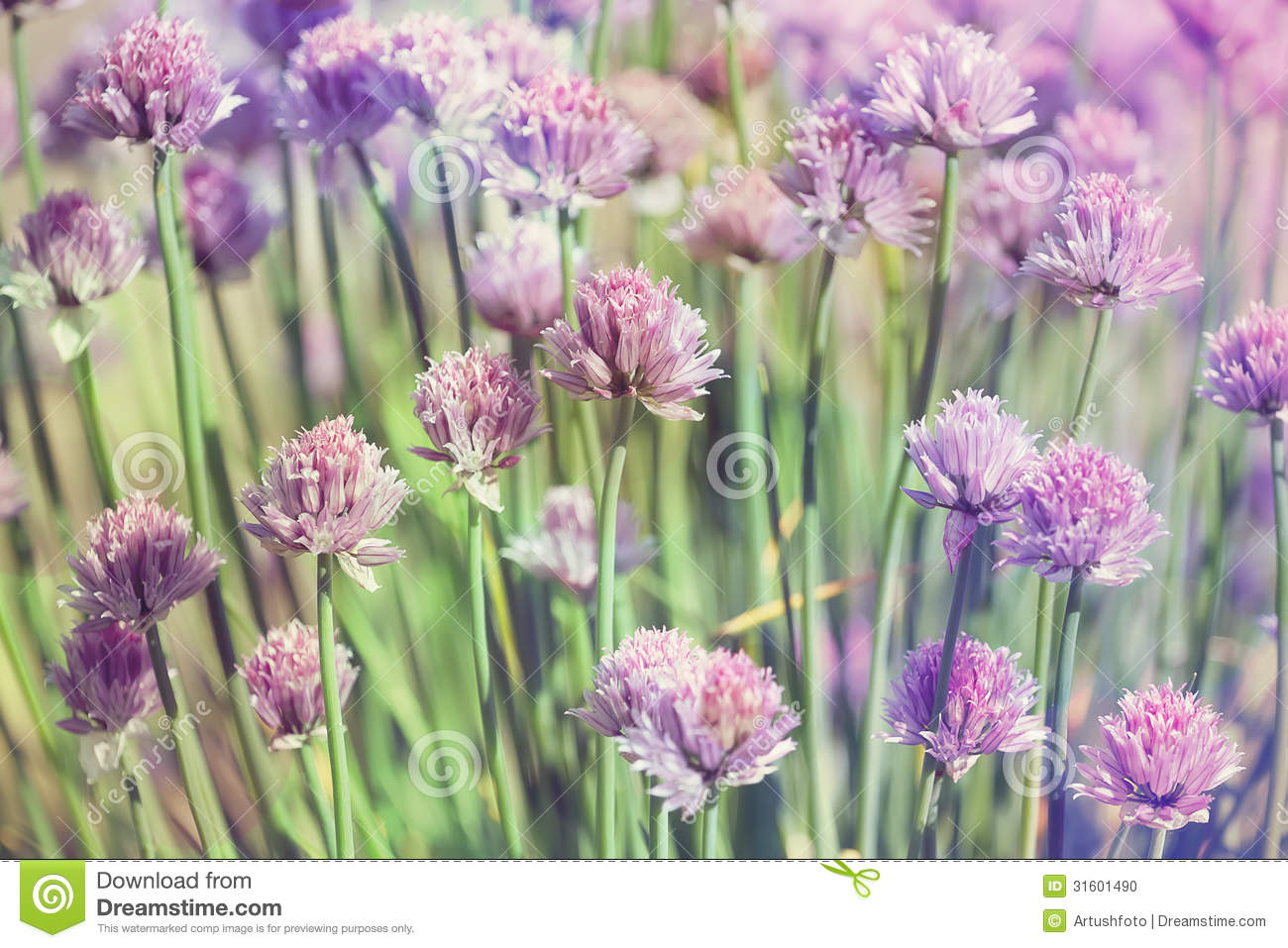 Chive herb flowers on beautiful bokeh background pastel for Beautiful pastel colors
