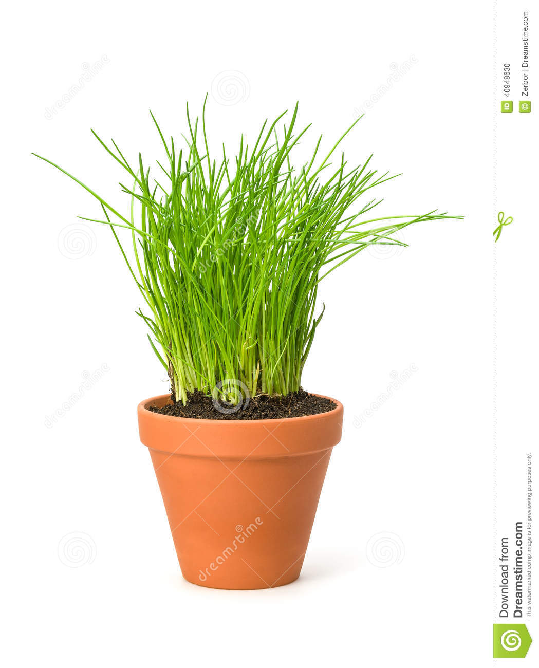 Image of: 1 020 Chives Pot Photos Free Royalty Free Stock Photos From Dreamstime