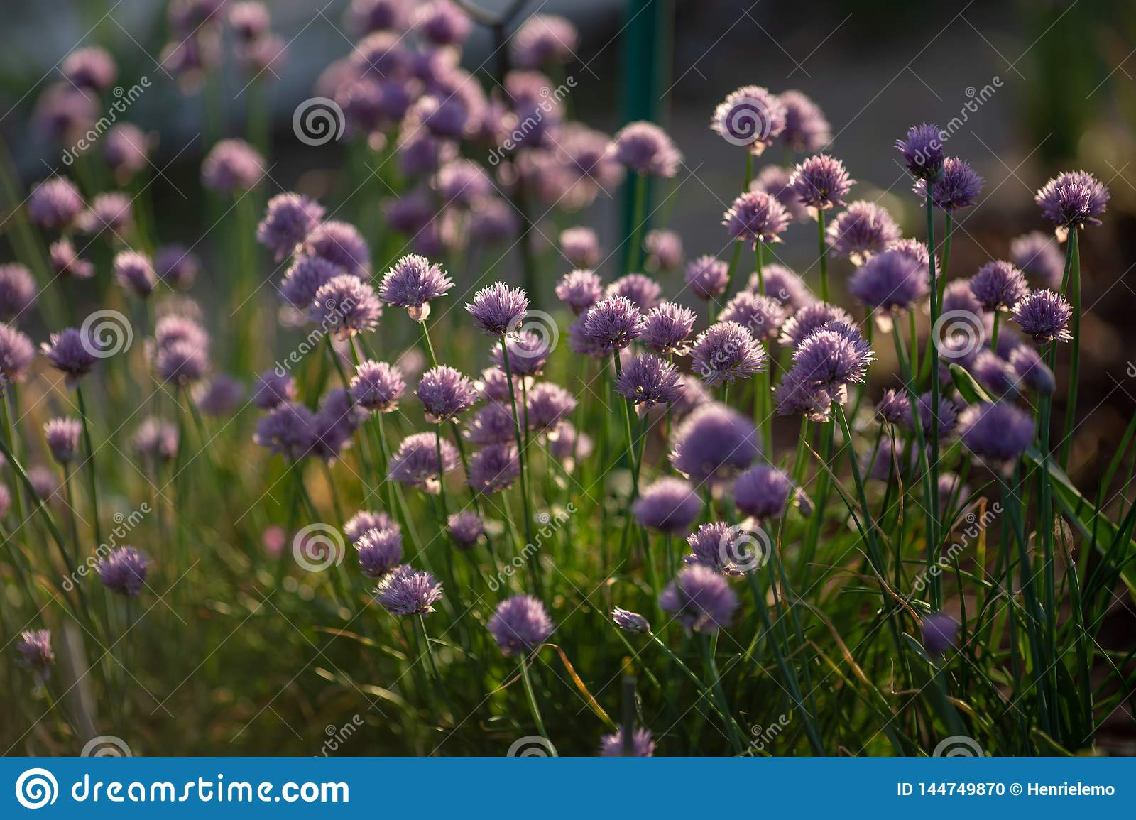 Chives with flowers captured in nature towards sunset with contrast and small shallow of depth