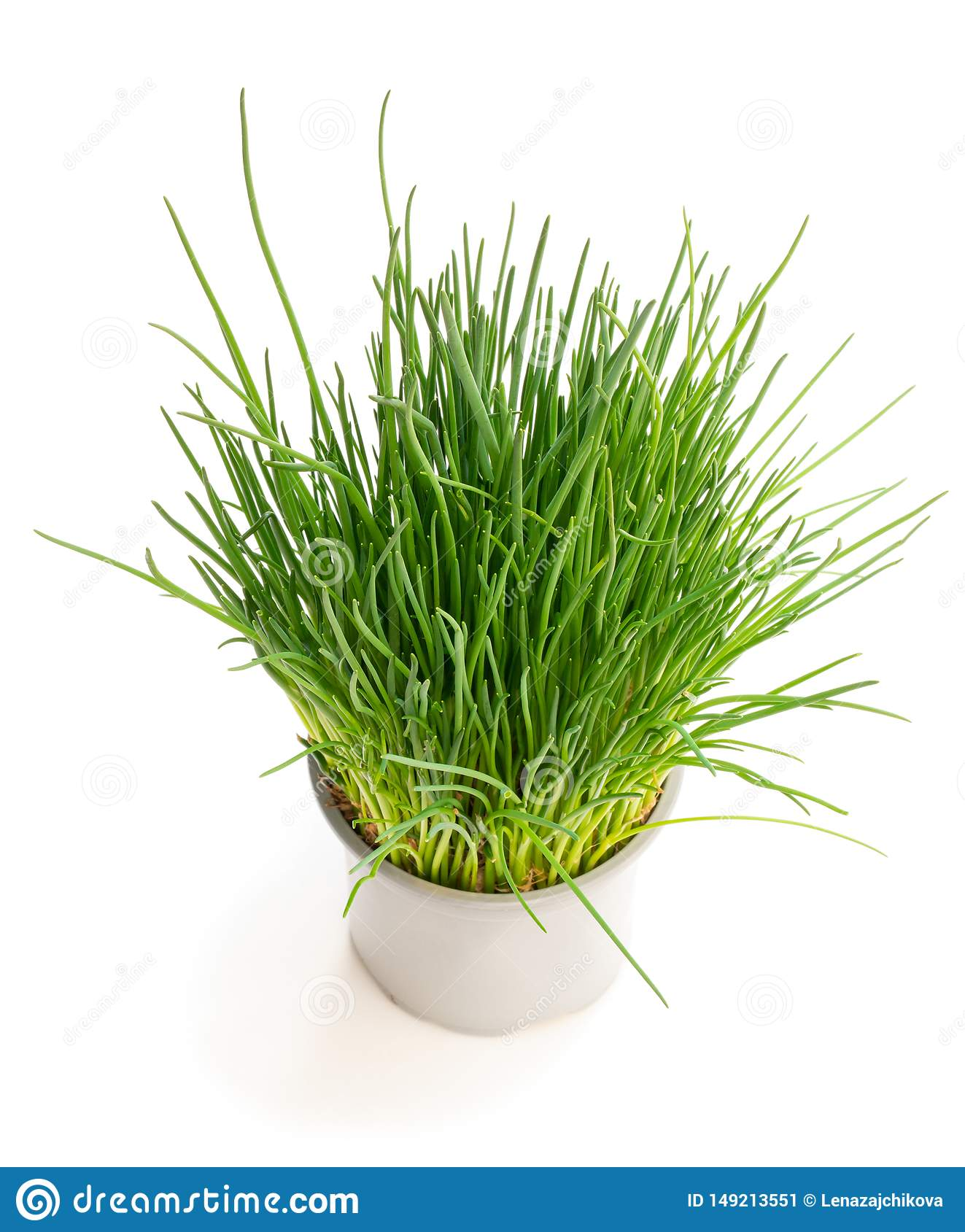 Image of: Chives Plant In Pot Isolated On White Stock Image Image Of Chive Grow 149213551