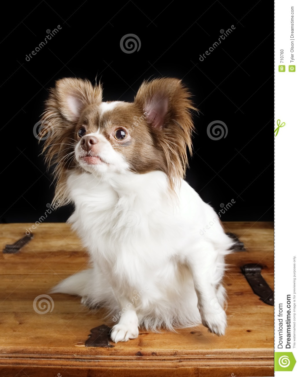 Chiwawa Stock Photo - Image: 710760