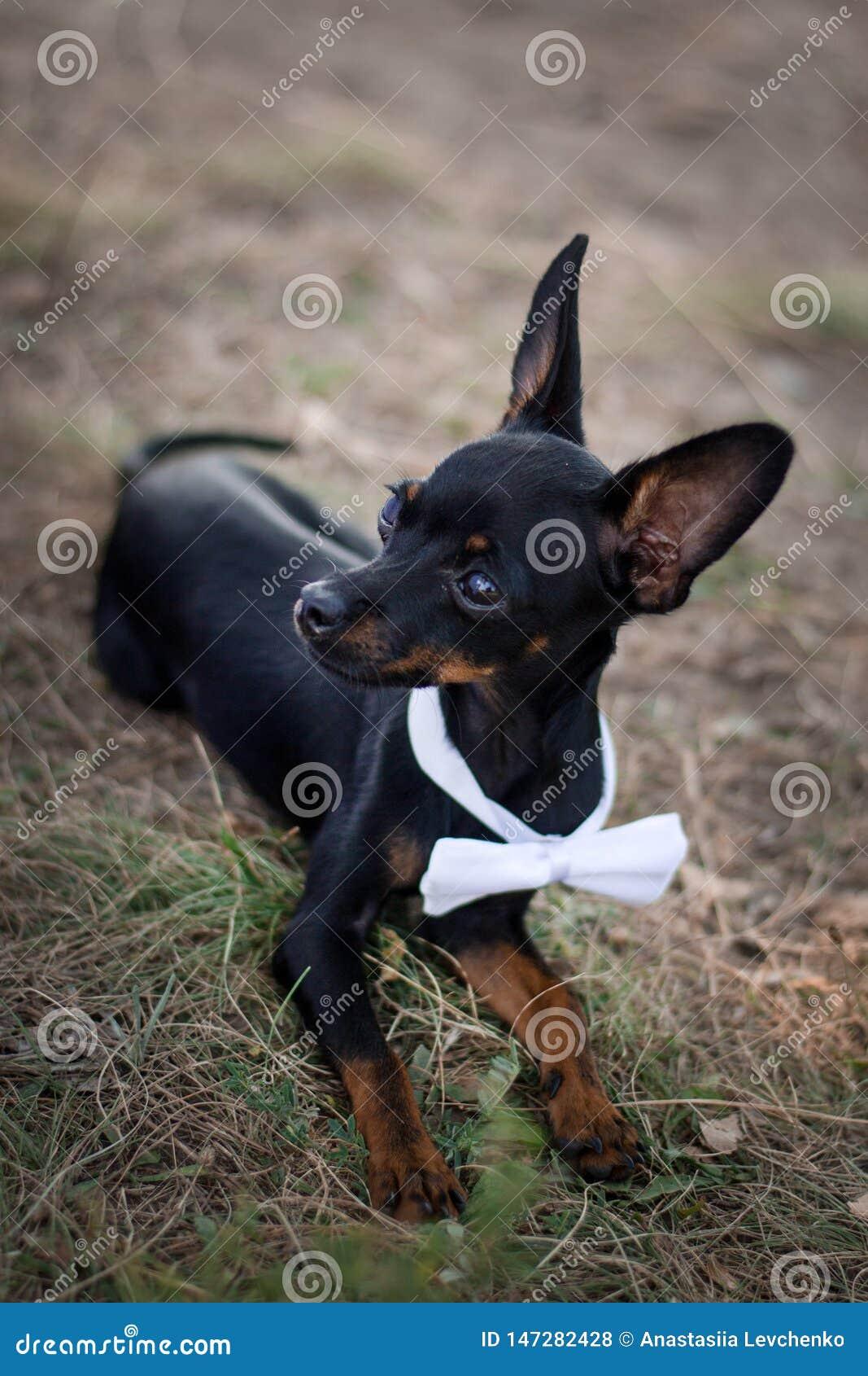 Chiwawa de chien dans un costume à un mariage Concept pour épouser des invités